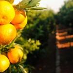 MANDARINAS CLEMENULES, la mandarina perfecta