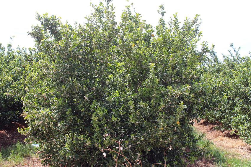 polinizacion en las mandarinas y naranjas